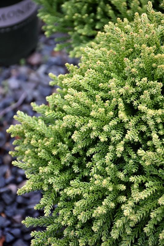 Dragon Prince Japanese Cedar Cryptomeria Japonica Spg 3 014