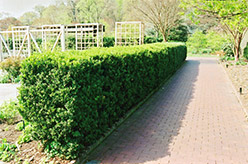 Common Boxwood (Buxus sempervirens) at Seoane's Garden Center