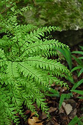 Northern Maidenhair Fern (Adiantum pedatum) at Seoane's Garden Center
