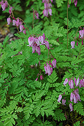 Bleeding Heart (Dicentra eximia) at Seoane's Garden Center