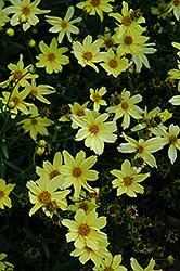 Creme Brulee Tickseed (Coreopsis 'Creme Brulee') at Seoane's Garden Center