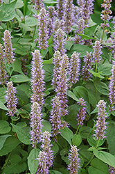Blue Fortune Anise Hyssop (Agastache 'Blue Fortune') at Seoane's Garden Center