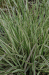 Variegated Reed Grass (Calamagrostis x acutiflora 'Overdam') at Seoane's Garden Center