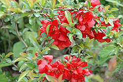 Texas Scarlet Flowering Quince (Chaenomeles speciosa 'Texas Scarlet') at Seoane's Garden Center