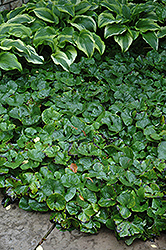 Canadian Wild Ginger (Asarum canadense) at Seoane's Garden Center