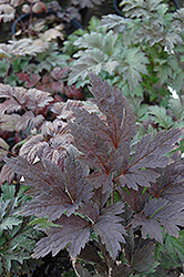 Brunette Bugbane (Cimicifuga racemosa 'Brunette') at Seoane's Garden Center