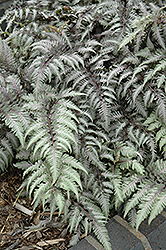 Pewter Lace Painted Fern (Athyrium nipponicum 'Pewter Lace') at Seoane's Garden Center