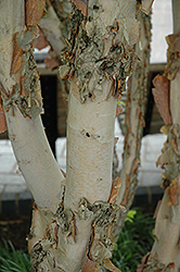 Fox Valley River Birch (Betula nigra 'Little King') at Seoane's Garden Center
