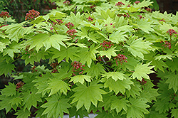 Golden Full Moon Maple (Acer shirasawanum 'Aureum') at Seoane's Garden Center