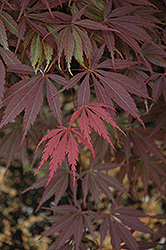Burgundy Lace Japanese Maple (Acer palmatum 'Burgundy Lace') at Seoane's Garden Center