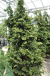 Wells Special Hinoki Falsecypress (Chamaecyparis obtusa 'Wells Special') at Seoane's Garden Center