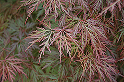 Orangeola Cutleaf Japanese Maple (Acer palmatum 'Orangeola') at Seoane's Garden Center
