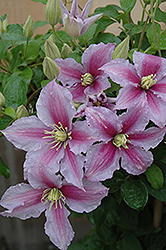 Piilu Clematis (Clematis 'Piilu') at Seoane's Garden Center