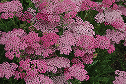 Pink Grapefruit Yarrow (Achillea 'Pink Grapefruit') at Seoane's Garden Center