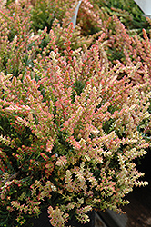 Spring Torch Heather (Calluna vulgaris 'Spring Torch') at Seoane's Garden Center