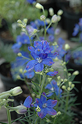Blue Mirror Delphinium (Delphinium grandiflorum 'Blue Mirror') at Seoane's Garden Center