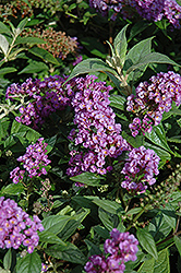 Lo And Behold® Purple Haze Dwarf Butterfly Bush (Buddleia 'Lo And Behold Purple Haze') at Seoane's Garden Center