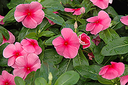 Sunstorm Rose with Eye Vinca (Catharanthus roseus 'Sunstorm Rose with Eye') at Seoane's Garden Center