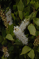 Sugartina® Summersweet (Clethra alnifolia 'Crystalina') at Seoane's Garden Center
