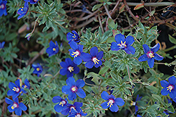 Angie Blue Pimpernel (Anagallis monelli 'Angie Blue') at Seoane's Garden Center