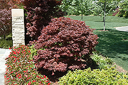 Rhode Island Red Japanese Maple (Acer palmatum 'Rhode Island Red') at Seoane's Garden Center