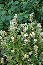 Hummingbird Summersweet (Clethra alnifolia 'Hummingbird') at Seoane's Garden Center