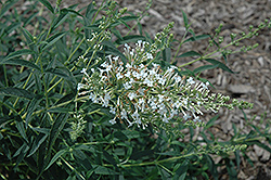 Flutterby Petite® Snow White Butterfly Bush (Buddleia davidii 'Podaras 15') at Seoane's Garden Center