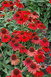 Sombrero® Salsa Red Coneflower (Echinacea 'Balsomsed') at Seoane's Garden Center