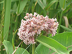 Common Milkweed (Asclepias syriaca) at Seoane's Garden Center