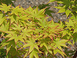 Coral Bark Japanese Maple (Acer palmatum 'Sango Kaku') at Seoane's Garden Center