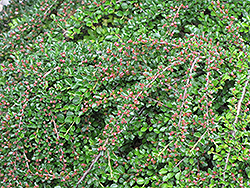 Ground Cotoneaster (Cotoneaster horizontalis) at Seoane's Garden Center