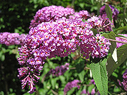 Petite Plum Butterfly Bush (Buddleia davidii 'Petite Plum') at Seoane's Garden Center