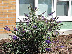 Nanho Blue Butterfly Bush (Buddleia davidii 'Nanho Blue') at Seoane's Garden Center