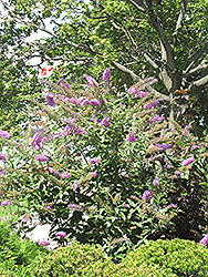 Pink Delight Butterfly Bush (Buddleia davidii 'Pink Delight') at Seoane's Garden Center