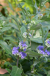 Beyond Midnight® Caryopteris (Caryopteris x clandonensis 'CT-9-12') at Seoane's Garden Center