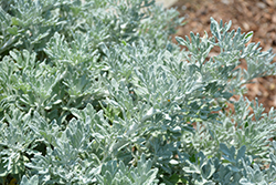 Quicksilver™ Dusty Miller (Artemisia stelleriana 'Quicksilver') at Seoane's Garden Center