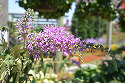 InSpired Violet™ Butterfly Bush (Buddleia 'ILVOargus2') at Seoane's Garden Center