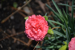 Fruit Punch® Classic Coral Pinks (Dianthus 'Classic Coral') at Seoane's Garden Center