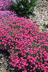 Paint The Town Magenta Pinks (Dianthus 'Paint The Town Magenta') at Seoane's Garden Center