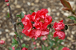 Double Take Pink™ Flowering Quince (Chaenomeles speciosa 'Double Take Pink Storm') at Seoane's Garden Center