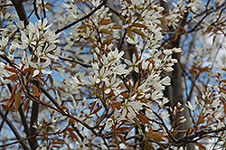 Autumn Brilliance Serviceberry (Amelanchier x grandiflora 'Autumn Brilliance (tree form)') at Seoane's Garden Center