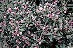 Blue Ice Bog Rosemary (Andromeda polifolia 'Blue Ice') at Seoane's Garden Center