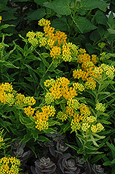 Hello Yellow Milkweed (Asclepias tuberosa 'Hello Yellow') at Seoane's Garden Center