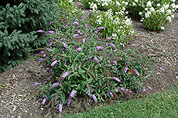 Flutterby® Lavender Butterfly Bush (Buddleia davidii 'Podaras 11') at Seoane's Garden Center