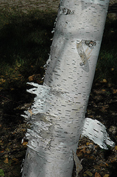 Paper Birch (Betula papyrifera) at Seoane's Garden Center
