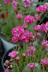 Splendens Sea Thrift (Armeria maritima 'Splendens') at Seoane's Garden Center