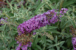 Blue Knight Butterfly Bush (Buddleia 'Blue Knight') at Seoane's Garden Center