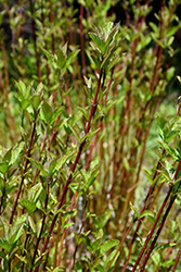Arctic Fire® Red Twig Dogwood (Cornus sericea 'Farrow') at Seoane's Garden Center