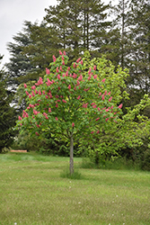 Fort McNair Red Horse Chestnut (Aesculus x carnea 'Fort McNair') at Seoane's Garden Center