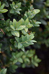 Newport Blue Boxwood (Buxus sempervirens 'Newport Blue') at Seoane's Garden Center